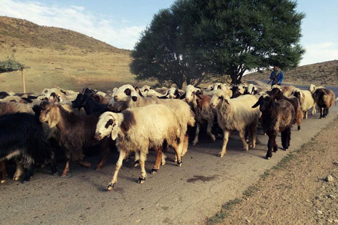 sheep-3_1080
